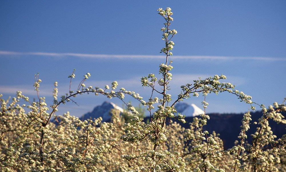 Schenna bei Meran: Wenn die Apfelbäume blühen ...